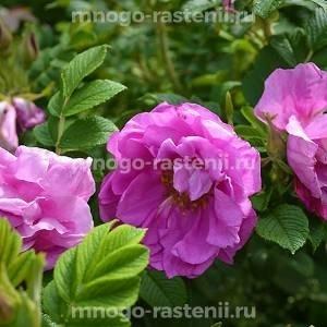Роза Чарльз Албанель