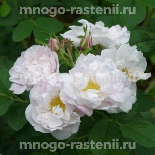 Роза Лак Маджеу