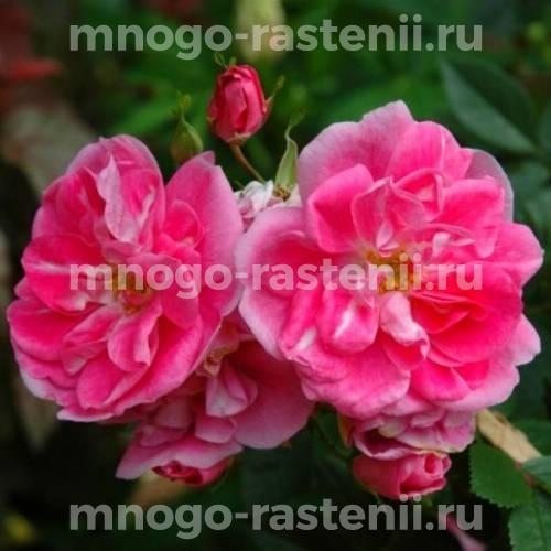 Роза Уильям Баффин