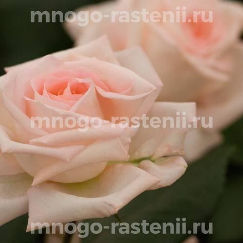 Роза Рут