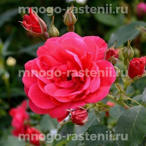 Роза Николас