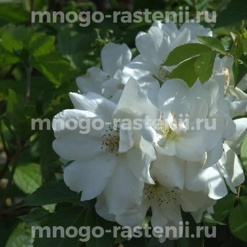 Роза Морден Сноубьюти