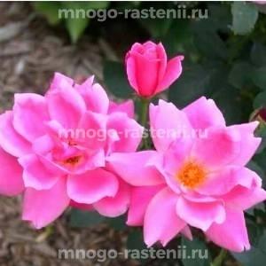 Роза Де Монтервиль