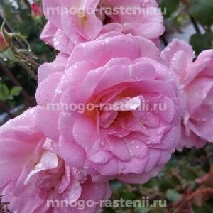 Роза Мари Викторин