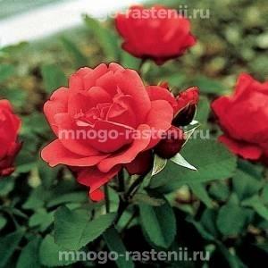 Роза Морден Файрглоу