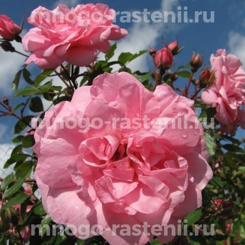 Роза Тереза Багнет