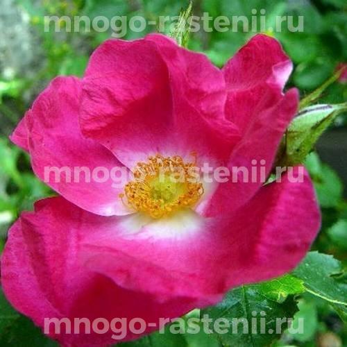 Роза Вильям Бут
