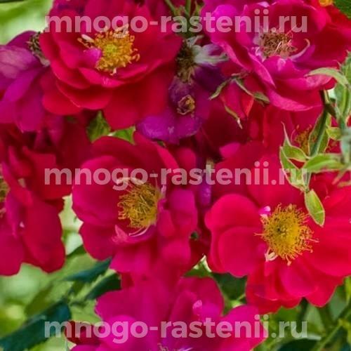 Роза Генри Келси