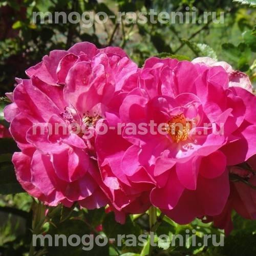 Роза Джон Кэбот