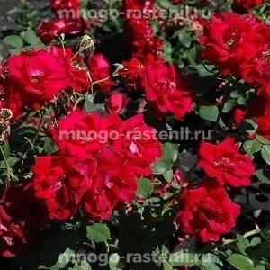Роза Шамплейн