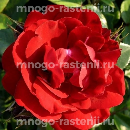 Роза Хоуп фо Хьюманити