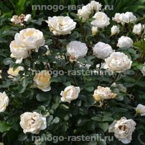 Роза канадская Ж.П.Коннел