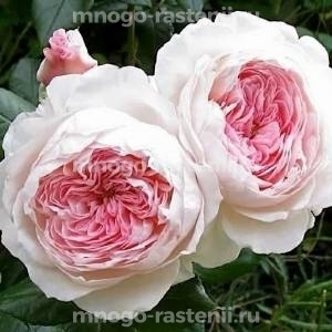 Роза Кордес Принцесса Александра Люксембургская