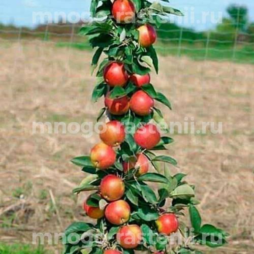 Яблоня колоновидная Элита