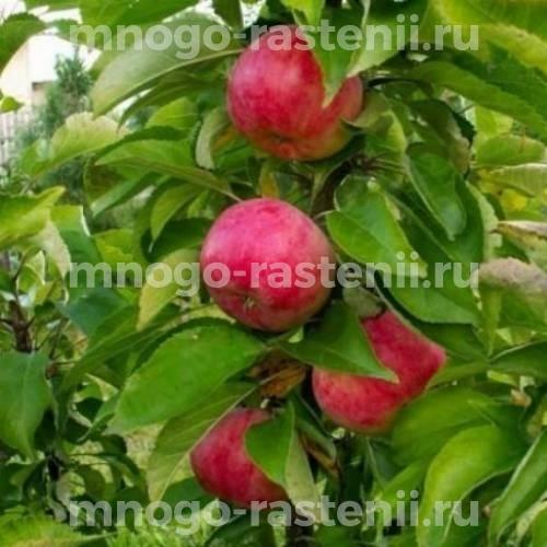 Яблоня колоновидная Обелиск