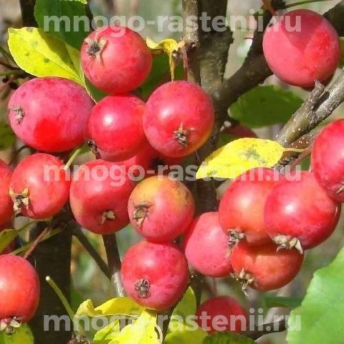 Яблоня колоновидная Китайка