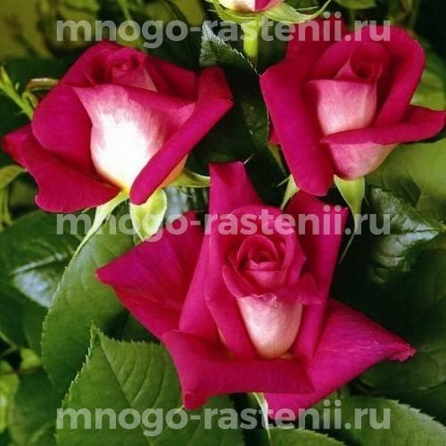 Роза Акапелла