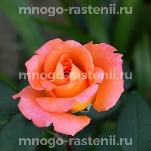 Роза Амбассадор