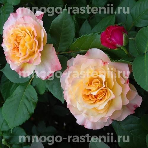 Роза Акварель