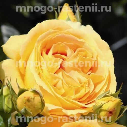 Роза Канделайт