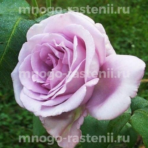 Роза Си-Си