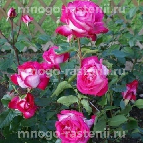 Роза Гожар