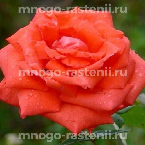 Роза Саммэ Холлидэй