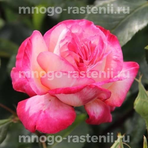Роза Рина Херхолдт