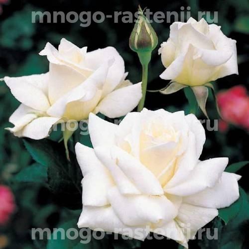 Роза Ленип (Паскаль)