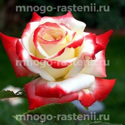 Роза Кайзер Фара