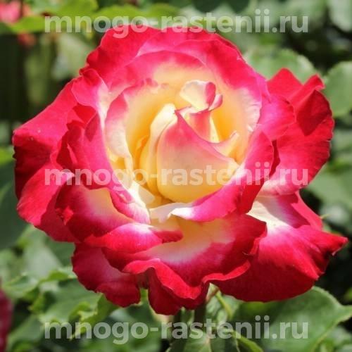 Роза Диз