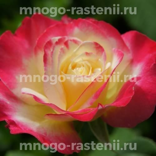 Роза Дабл Делайт