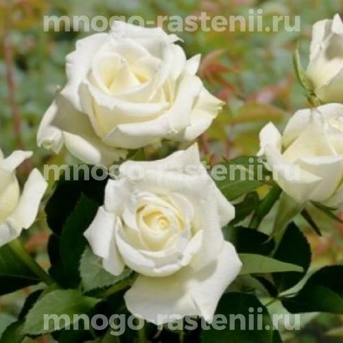 Роза Бианка