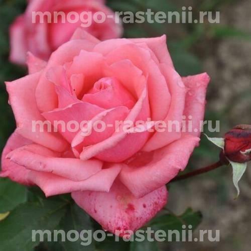 Роза Бель Анж