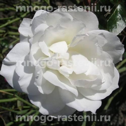 Роза Тру Лав