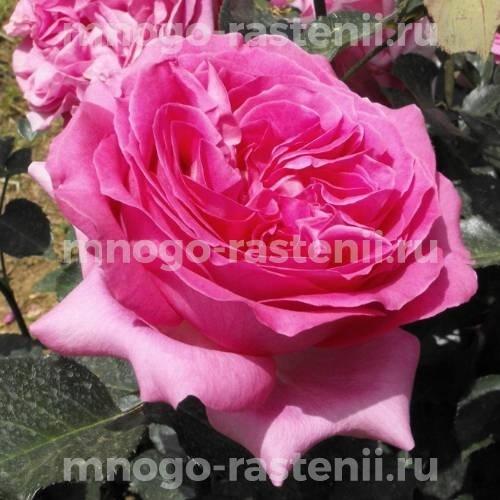 Роза Бернадетт Лафон (Bernadette Lafont)