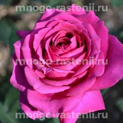 Роза Биг перпл (Big purple)