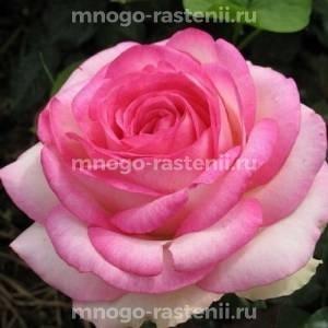 Роза Бидермейер Гарден (Biedermeier Garden)