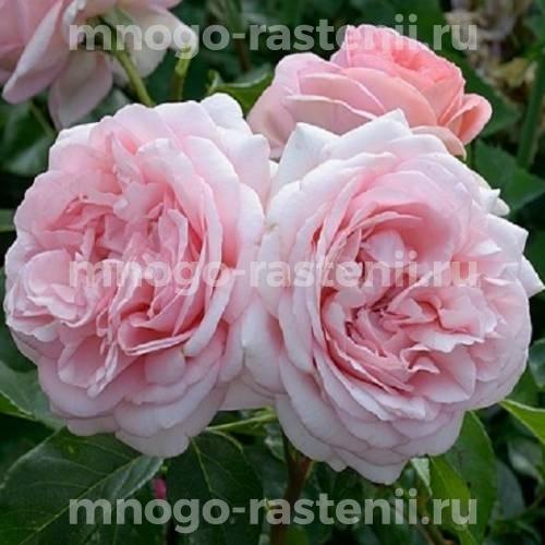 Роза Вояж (Voyage)