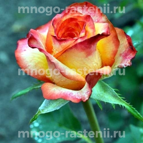 Роза Высший Свет (High Society)