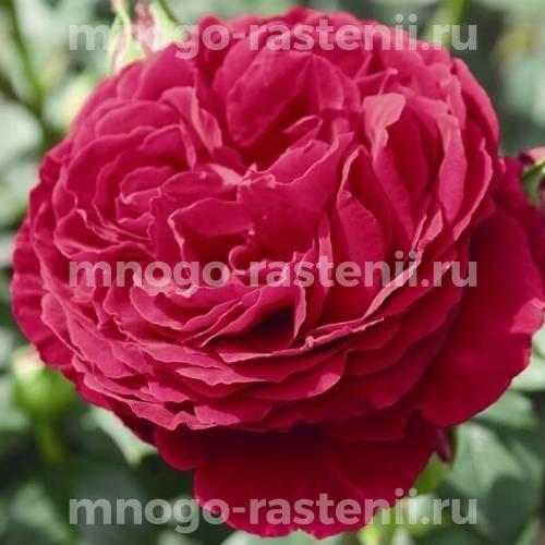 Роза Госпел (Gospel)
