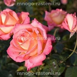 Роза Ди Вельт (Die Welt)