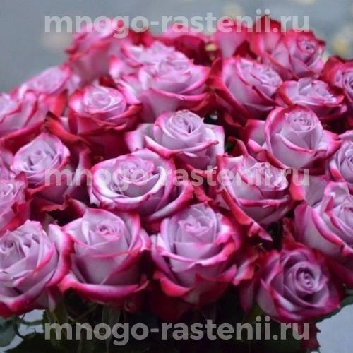 Роза Дип Перпл (Deep Purple)