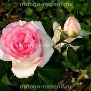 Роза Дольче Вита (Dolce Vita)