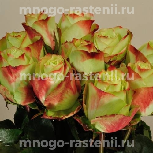 Роза Зазу