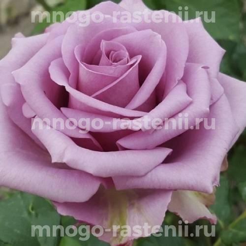 Роза Кул Ватер