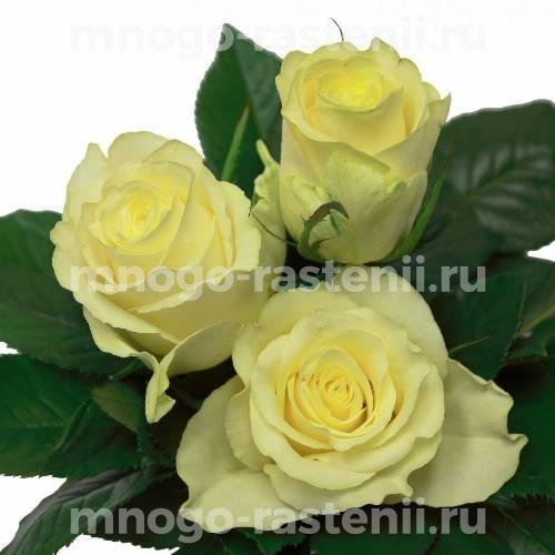 Роза Магади