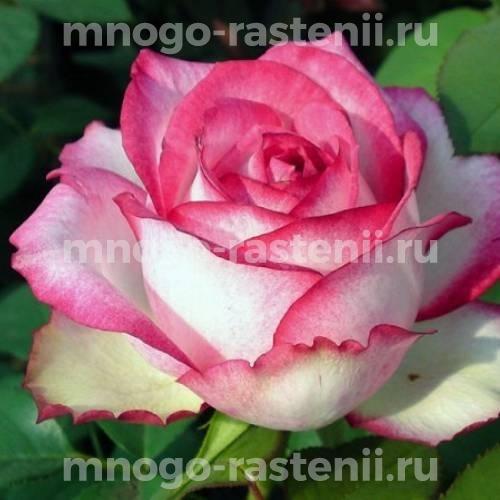Роза Н-Джой