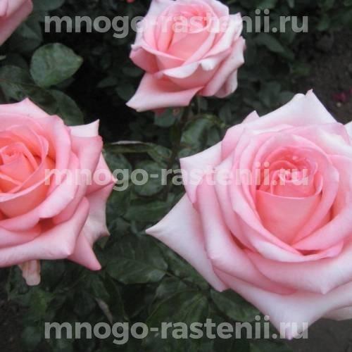 Роза Нобилис