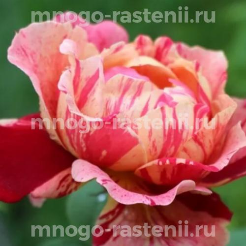 Роза Оттавио Миссони